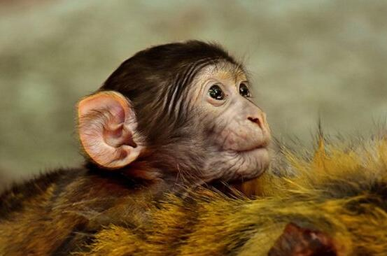 What Do Auntless monkey Symbolize in Dreams and How to Interpret the Meaning