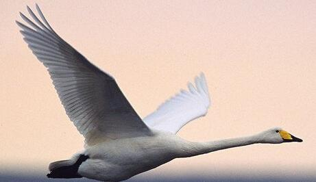 A case study of dreaming of a swan flying in the air