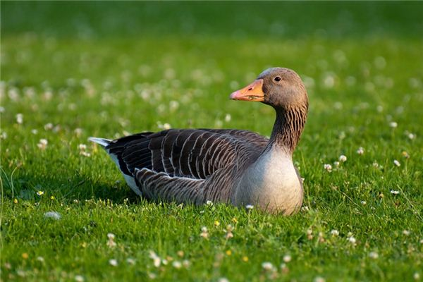 A case study of dreaming of geese and ducks