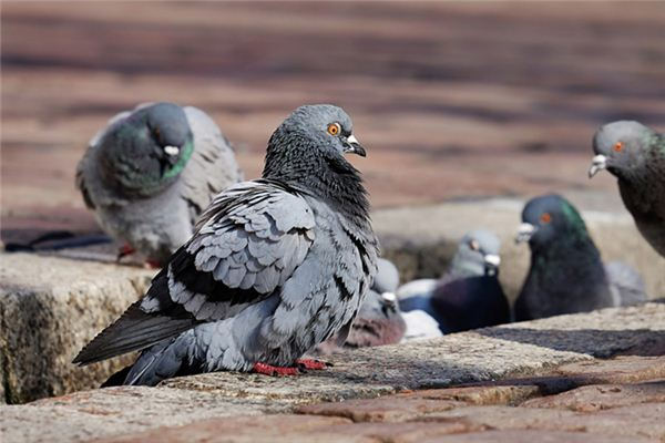 A case study of dreaming about raising pigeons