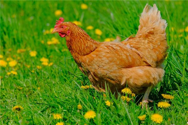 Dreaming of a case study of killing hens