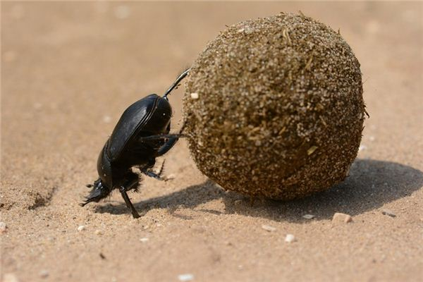 Case Study of Dreaming Dung Beetle