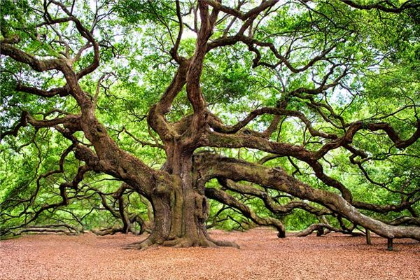 The meaning and symbol of oak in dream