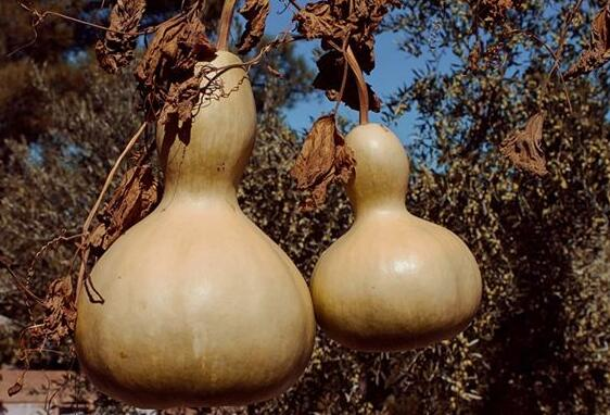 Case Study of Dreaming Gourd