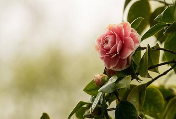 The meaning and symbol of Camellia in dream