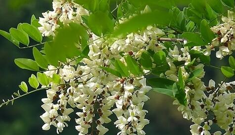 The meaning and symbol of Acacia flowers in dream