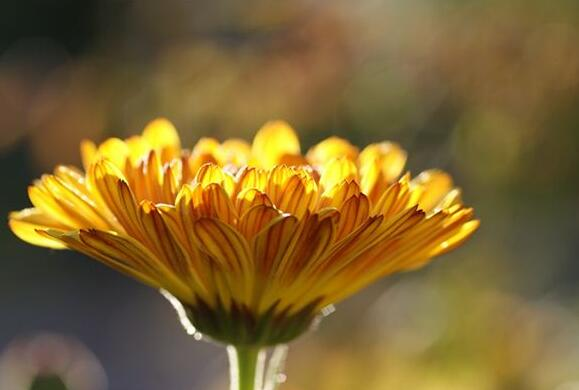 The meaning and symbol of Calendula in dream