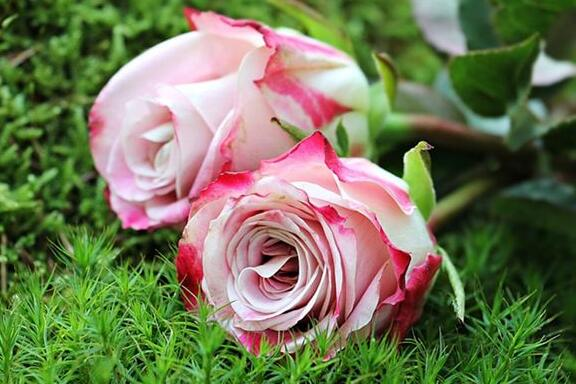 The meaning and symbol of Rose in dream