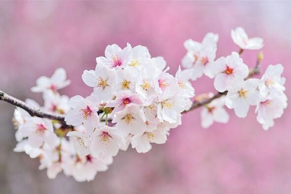 The meaning and symbol of Cherry blossoms in dream