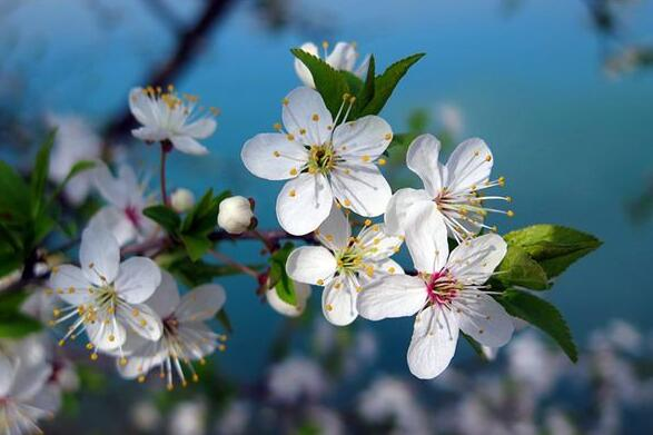 The meaning and symbol of Cherry blossom in dream