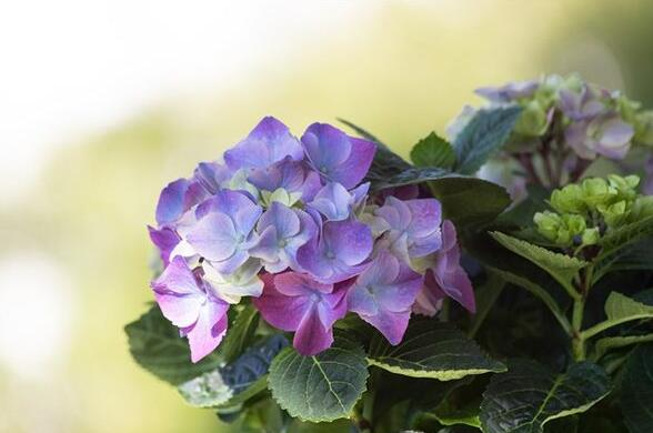 The meaning and symbol of Hydrangea in dream