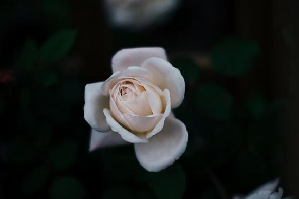 The meaning and symbol of White Rose in dream