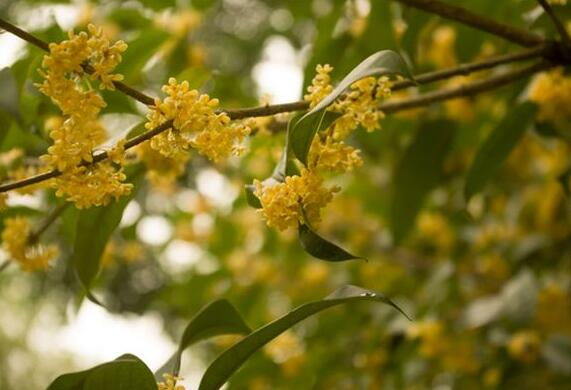 The meaning and symbol of Osmanthus in dream
