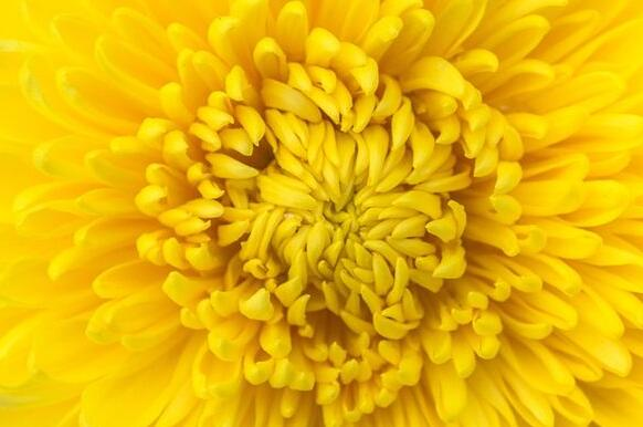 The meaning and symbol of Yellow chrysanthemum in dream