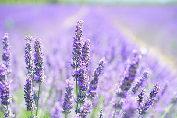The meaning and symbol of lavender in dream