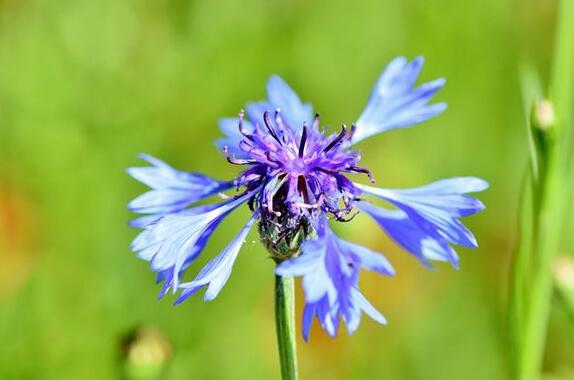 The meaning and symbol of Cornflowers in dream