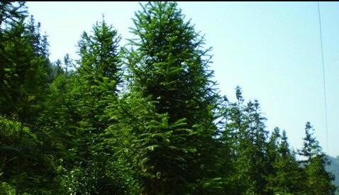 The meaning and symbol of cedar in dream