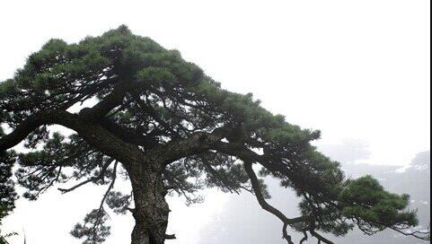 The meaning and symbol of Pine grove in dream