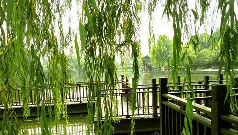 The meaning and symbol of willow in dream