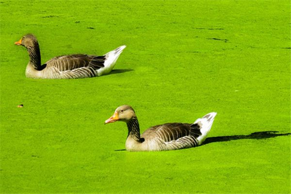 The meaning and symbol of duckweed in dream