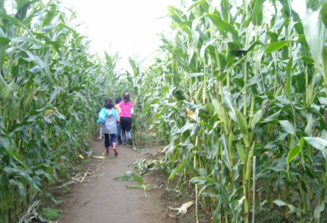 The meaning and symbol of Large corn field in dream