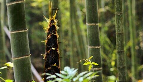 The meaning and symbol of Bamboo shoots in dream