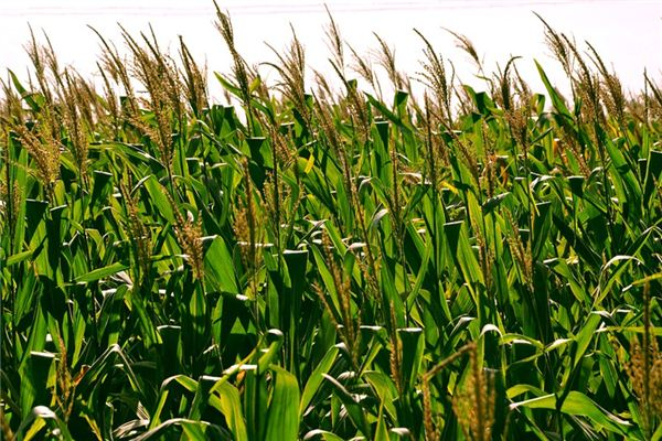 The meaning and symbol of Crop in dream