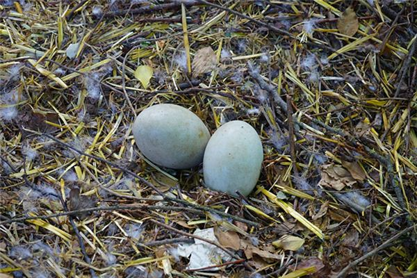 The meaning and symbol of Picking goose eggs in dream