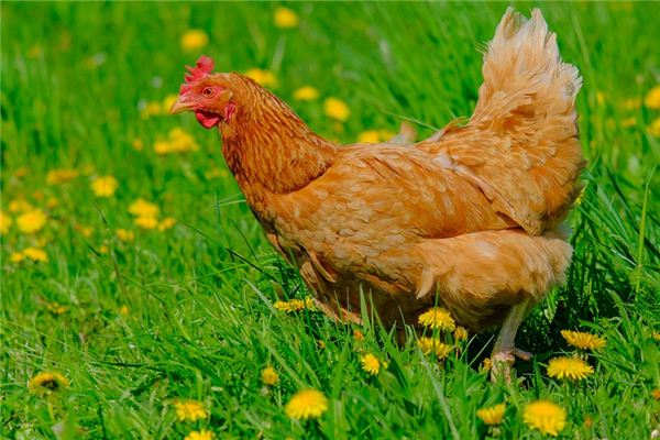 The meaning and symbol of Chicken in dream
