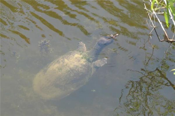 What is the meaning and symbolism of catching a turtle in a dream?