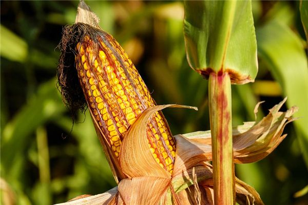 What is the meaning and symbol of stealing corn in a dream?
