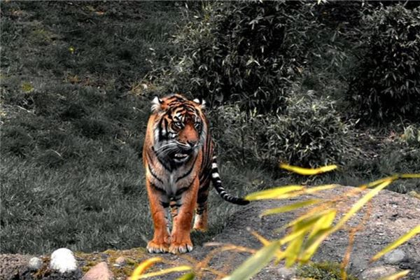 The meaning and symbol of being chased in a dream by a tiger